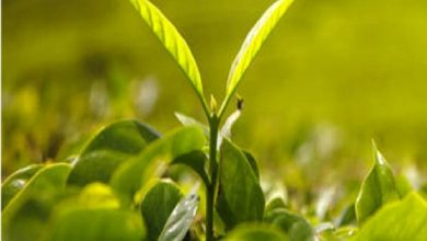 Kenyan tea producer KTDA turns to Japanese green tea production